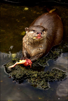 Feeding time for the otters at Five Sisters Zoo - бесплатный image #283951