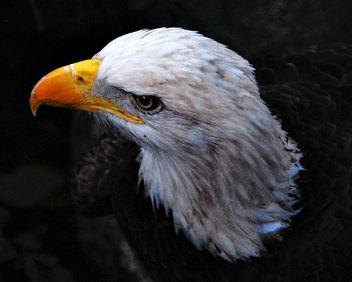 eagle - image gratuit(e) #284331