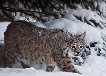 Bobcat snow - Free image #284781