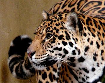 yaguara / jaguar / Panthera onca - image #284891 gratis