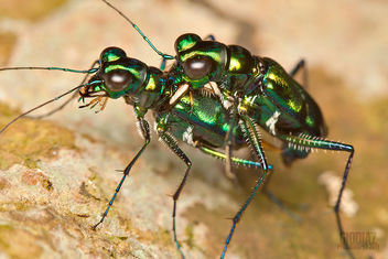 Rendezvous of Emerald Tiger Beetles - image #285471 gratis