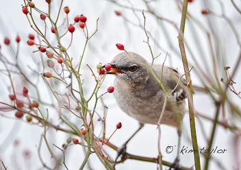 Mockingbird - Free image #285631