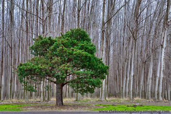Lone Pine in a tree Farm - image #286191 gratis