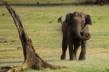 Charging Elephant @ Kabini Forest - Kostenloses image #286411