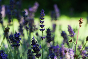 Lavender - Kostenloses image #286641