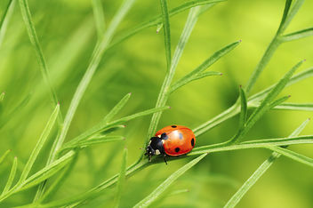Lady bug - Free image #286871