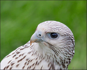 Bird of Prey,
