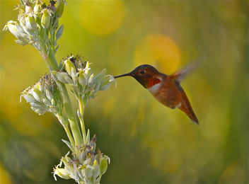 Rufous Hummingbird 2 - Free image #287471