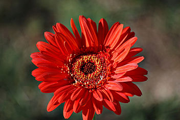 Red Gerbera Daisy Flower - Free image #287701