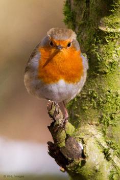 Robin (Erithacus rubecula) - Explored - Free image #287901