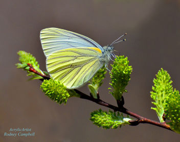 Butterfly on Spicebush - Kostenloses image #288161