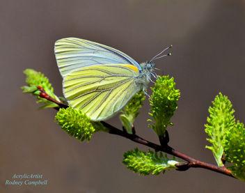 Butterfly on Spicebush - бесплатный image #288161