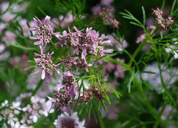 Fleur de coriandre - Free image #288351