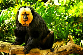 Yellow Face Monkey is Black and Beautiful Saki - image #288601 gratis