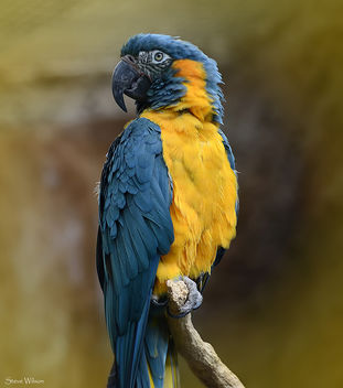 Blue throated Macaw - image #288621 gratis