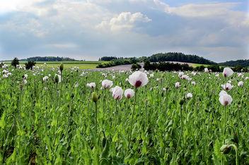 Poppy field - image gratuit(e) #289121
