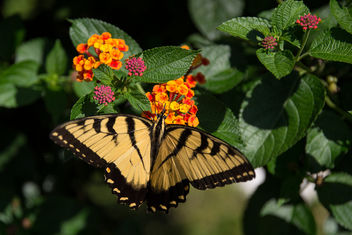 Colonial Williamsburg - Butterfly in the Palace Gardens - Free image #289311