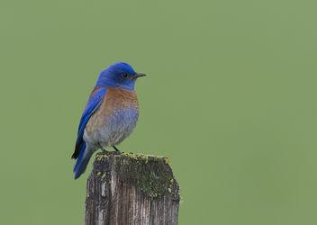 Western Bluebird (Sialia mexicana) - image gratuit #289381