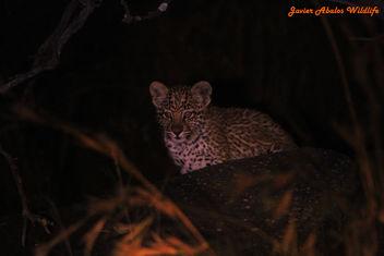 Leopard cub in Kruger - Free image #290051
