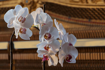 Orchid in front of piano - image gratuit #290111