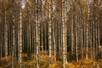 Birch Forest - Free image #290151