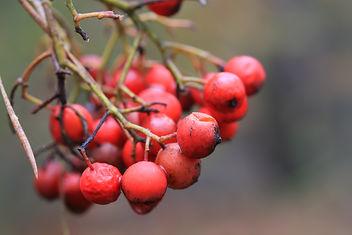 Berries - image gratuit(e) #290261