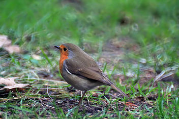 Robin taken with new Samyang telelens - Free image #290741