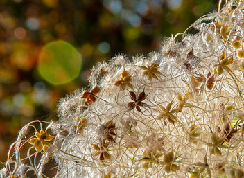 Seeds and fuzz.jpg - Free image #290781