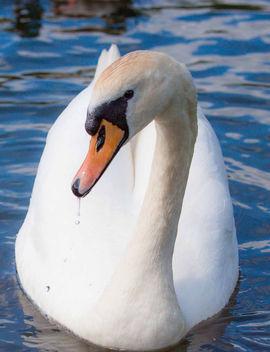 Swan - Free image #290941
