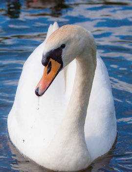 Swan - image gratuit #290941