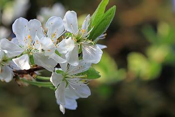 Prune tree - Free image #291461