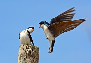 Tree Swallows - image #291591 gratis
