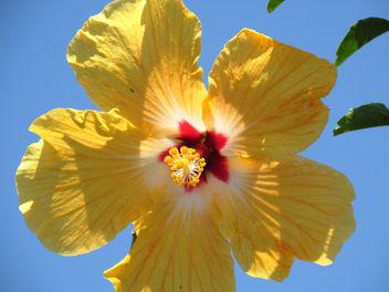 Yellow Hibiscus - image #291681 gratis