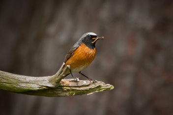 Redstart Male - бесплатный image #292101