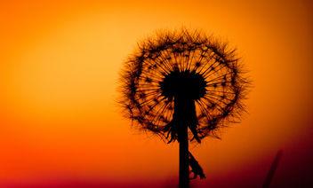 Dandelion sunset - Free image #292181