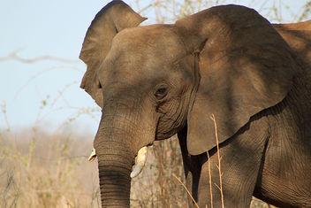 African Bush Elephant: Loxodonta africana - бесплатный image #292291