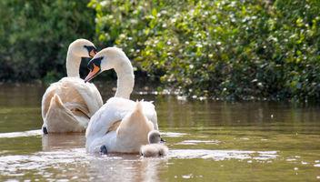Swans. - image #292441 gratis