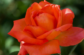 orange rose - Kostenloses image #292481
