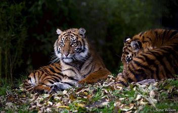 Resting Sumatran Tiger Cub - бесплатный image #292521