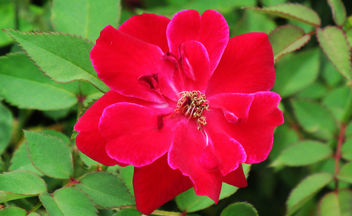 Red Flower - Free image #292691