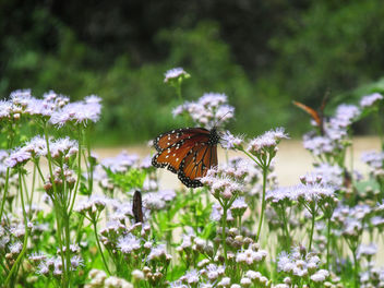 wildflowers and Butterflies - Free image #292741