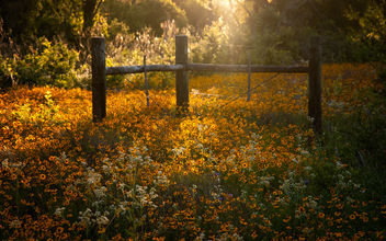 Field of Gold (Explore July 12, 2014) - Free image #292861