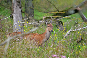 Edelhert in de nieuwe wildernis - Free image #293491