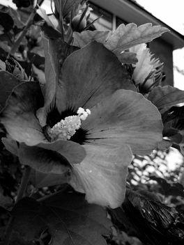 B&W flower - image #293751 gratis