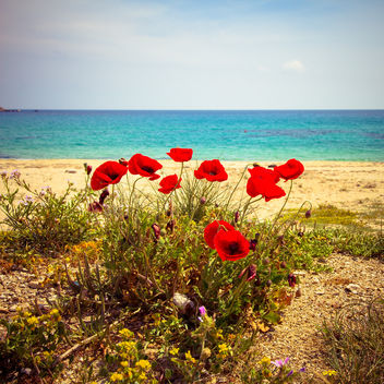 poppies - image gratuit #294001