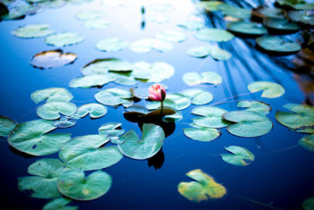a walk in the water lily pond - image gratuit #294391