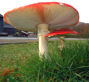 Fly-Agaric - Free image #294821