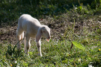 lamb - Free image #294831