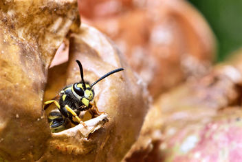German wasp (Vespula germanica) leaving an apple hollowed out by the colony. - Free image #295681