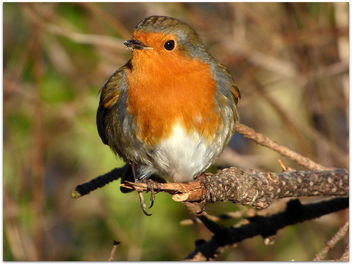 Bobby the Robin in Dunkeld - image gratuit #296131